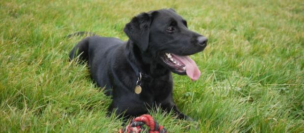 Black Labrador - Brett Jordan via Pexels
