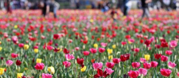 Campo di tulipani a Cornaredo, alle porte di Milano