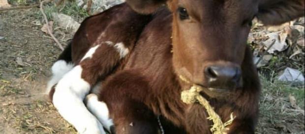 Cows (Image Credits: Slakro/ Reddit user)