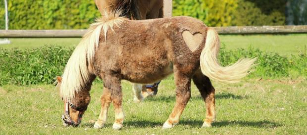 Mini horses are so cute that you won't want your kids to see them! [Image via Max Pixels]