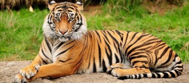 Beneficios de los tigres para sus presas