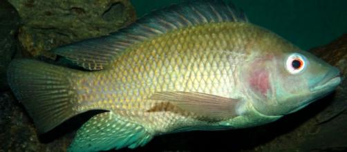 Piel de pescado, el remedio brasileño para combatir las quemaduras