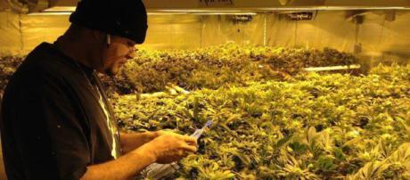 Uruguay legaliza la venta de marihuana - Hablar sin parar - pág.2 ... - corazonblanco.com