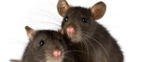 Nueva York probará una píldora anticonceptiva para ratas - com.mx