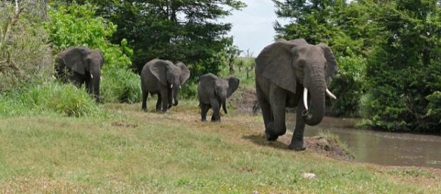 African Elephants in Kruger National Park, South Africa. - [Image credit – Bernard Dupont, Wikimedia Commons]