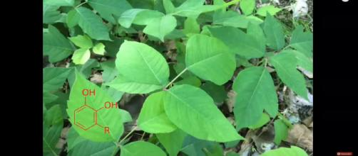 Poison ivy can be a nightmare to those affected by it. [image source: Extreme Deer Habitat/YouTube screenshot]