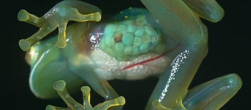 Una rana de cristal recientemente descubierta luce una piel transparente que revela la mayoría de sus órganos internos, incluido su corazón