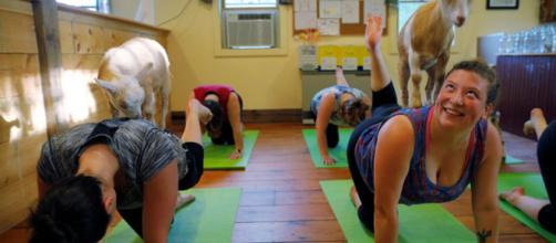 El yoga de cabra en New Hampshire