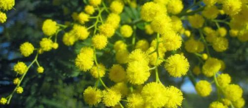 Universo Botánico: Acacia dealbata Link (Mimosa) - blogspot.com