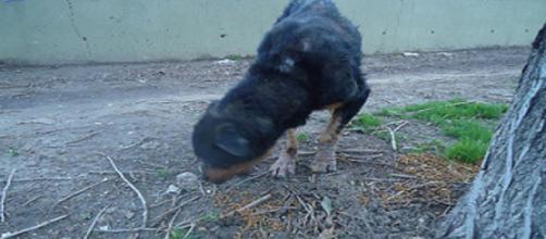 Canino domestico con lesiones alopecias por sarna