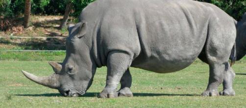 Alimentación de los rinocerontes :: Imágenes y fotos - rinoceronteswiki.com