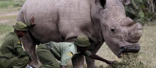 Sudan, l'ultimo rinoceronte bianco, prova a salvarsi dall ... - artspecialday.com
