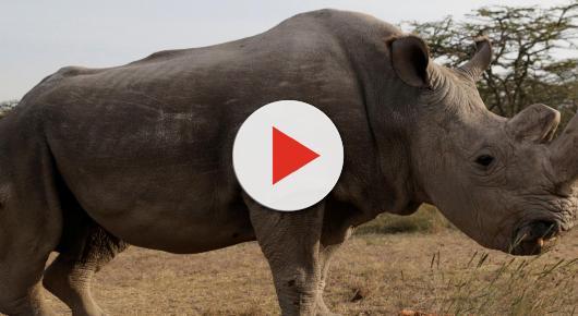 Soppresso l'ultimo maschio di rinoceronte bianco settentrionale