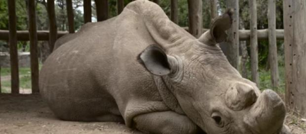 Facing Extinction: an encounter with the last male northern white rhino - Image credit -Earth Touch | YouTube