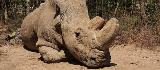 Salud del último rinoceronte blanco del norte macho en deterioro - lopezdoriga.com