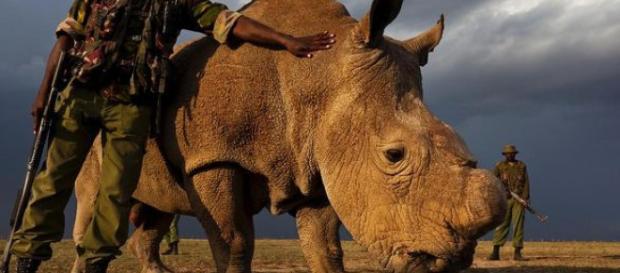 Zum Schutz gegen Wilderer: Letztes Weißes Nashorn wird 24 Stunden ... - focus.de