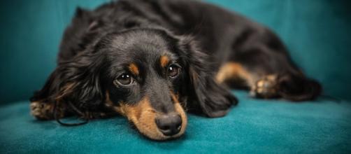 Conoce el perro más perezoso de las redes sociales. - sputniknews.com