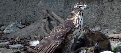 Hawks often prey on animals such as chickens, small pigs, and the like. - [Image source: MN / YouTube screencap]