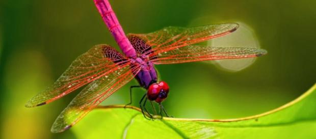 Las libélulas falsifican la muerte para evitar el acoso sexual