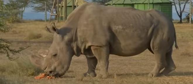 Sudan the last male northern white rhino is no more