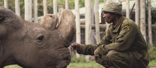 Muere en Kenia el último macho de rinoceronte blanco del norte ... - portalnet.cl