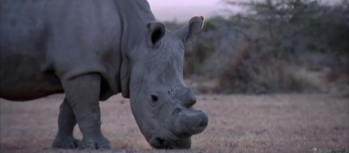 Sudan the last male northern white rhino died Monday [Image source: ITVNews/Youtube]