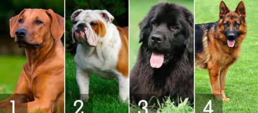 Gosta de cães? Veja as raças mais caras