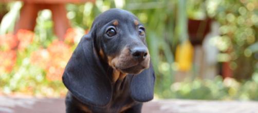 Dachshund filhote faz sucesso com suas orelhas
