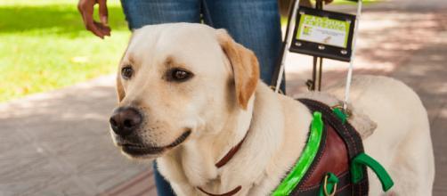 Labradores estão entre as raças mais solicitadas para este trabalho