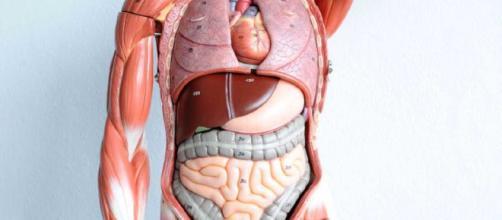 organi del corpo umano ecco i principali