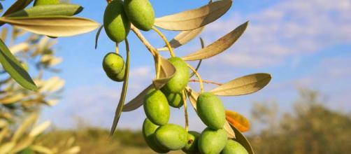 Remedios naturales y propiedades del olivo