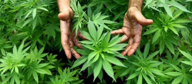 Cannabis: Trotz der Engpässe beim Medizinalhanf verzögert sich der Anbau weiterhin