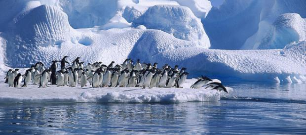 Adelie Penguins diving in Hope Bay, Antarctica (Image credit – Angell Williams, Wikimedia Commons)