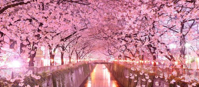 Pasqua in Giappone per ammirare la fioritura dei ciliegi