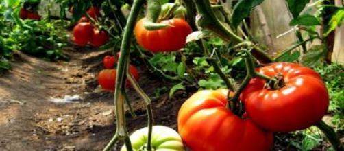 Cultivo de hortalizas tempranas