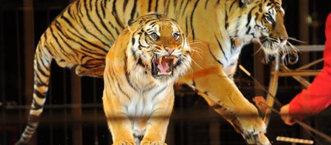Burolo: le scuole dicono no ai biglietti gratuiti per il circo, ha gli animali