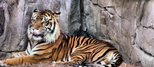 A Sumatran tiger relaxes in an unnamed zoo (Image via Michelle Galloway - Flickr)