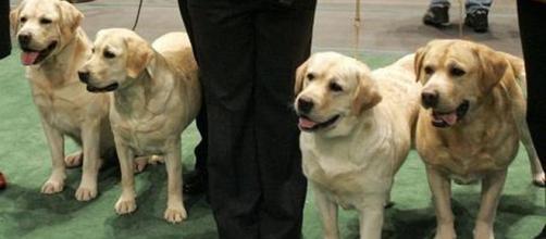 Los labradores se mantienen como perros favoritos en EU - prensa.com