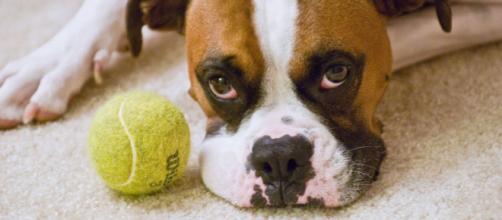 Los perros perciben su entorno en gran parte a través de su excelente sentido del olfato