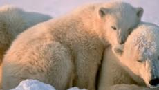 El cambio climático pone a los osos polares en grave peligro