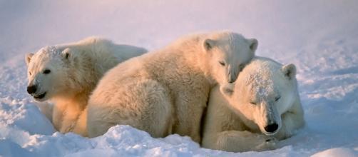 Documentan oso polar que sufre por el cambio climático - ngenespanol.com