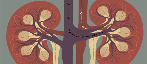 Kidneys play an integral role in keeping us alive and well. Here's how they do it. [Image Credit: TED-Ed/YouTube]