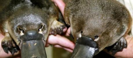 Leite materno dos ornitorrincos podem ajudar a combater superbactérias