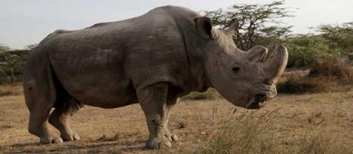 Muere 'Sudán', el último rinoceronte blanco del norte