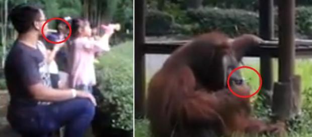 Vídeo mostra um orangotango fumando um cigarro; confira o que aconteceu
