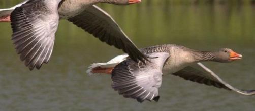 Llueven decenas de gansos muertos en pueblo de Idaho