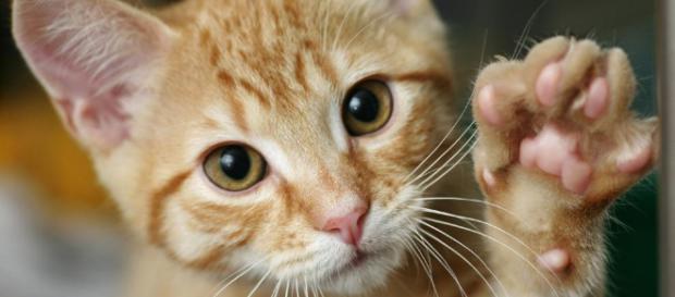 saber si tu gato es diestro o zurdo - lavanguardia.com