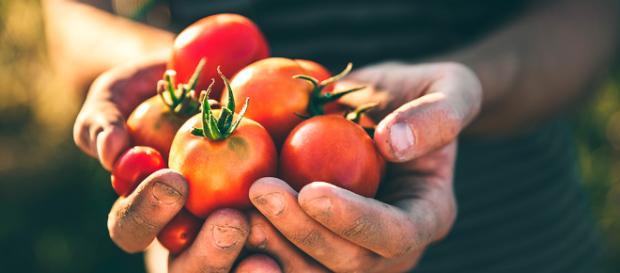 Muchas propiedades y beneficios tienen los tomates. - eljardindellibro.com