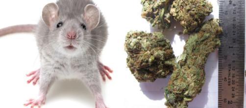 Policiais argentinos alegaram que ratos comeram mais de meia tonelada de maconha guardada em armazém