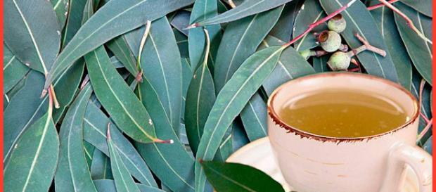 Conozca ahora todas las propiedades y los beneficios del eucalipto